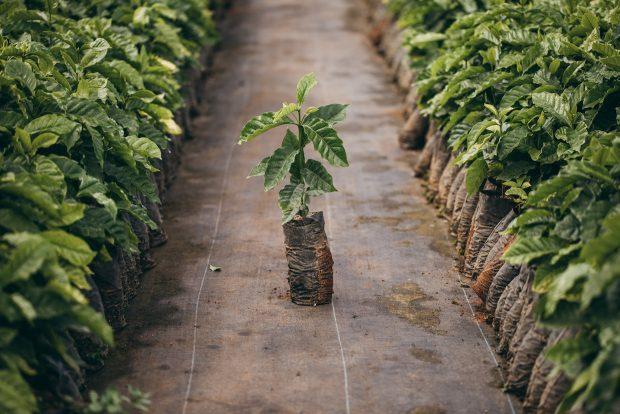 Starbucks Supplying 2 Million Coffee Seeds to Puerto Rico