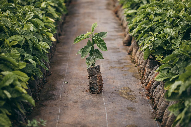 Puerto Rico coffee seeds