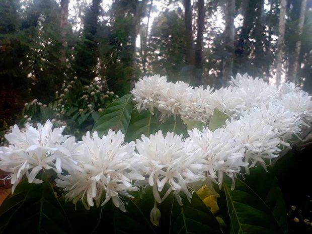coffee blossoms RW