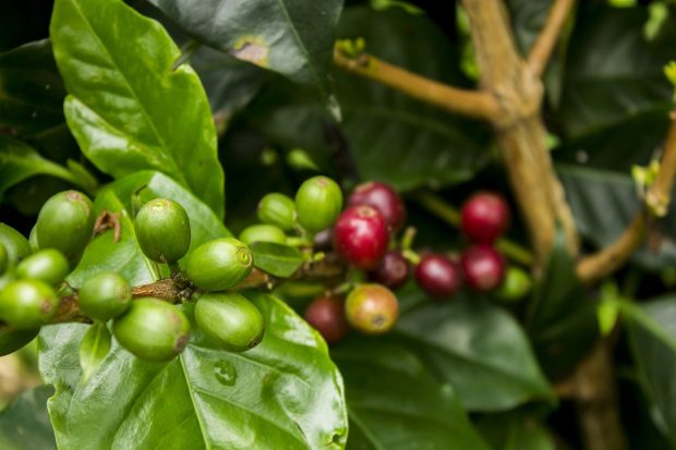 The 2018 Coffee Price Crisis: Market Fundamentals and the Human Cost
