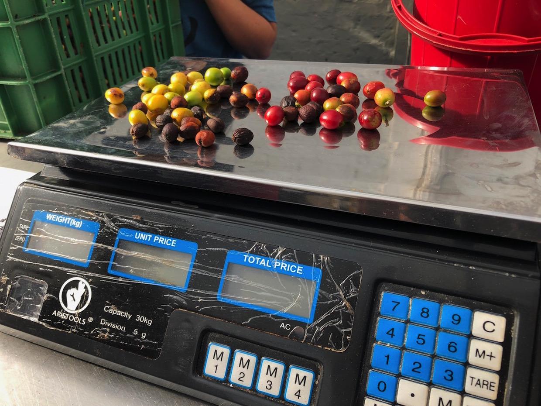 weighing coffee cherries
