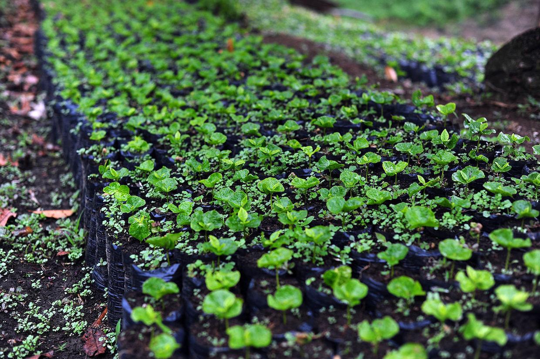 coffee_seedlings