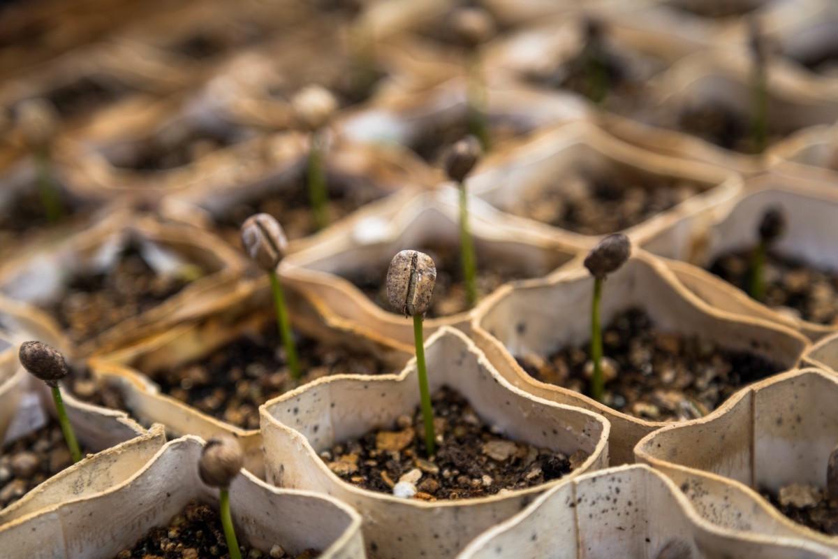coffee seedling.