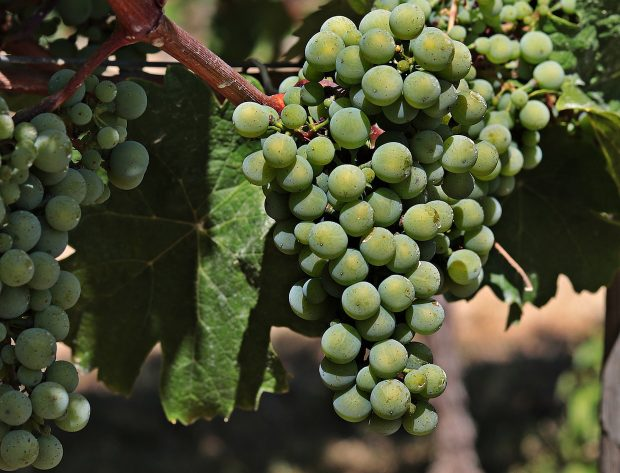 wine grapes on a vine