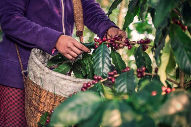 Coffee Plants – Web Size – 36 -_