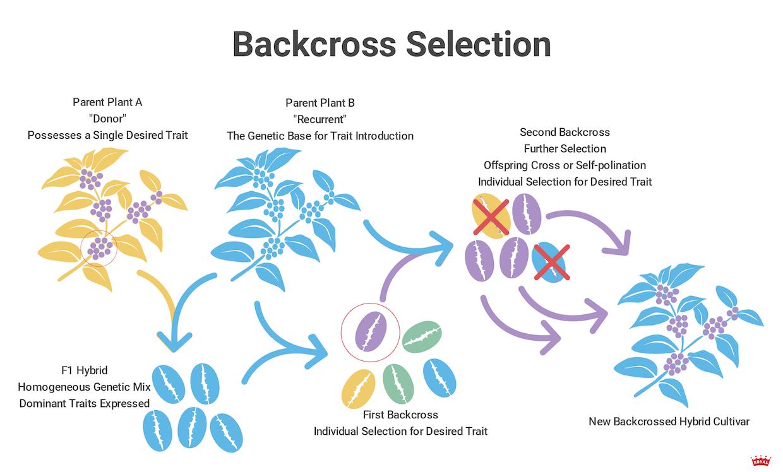 backcross-variety (2)