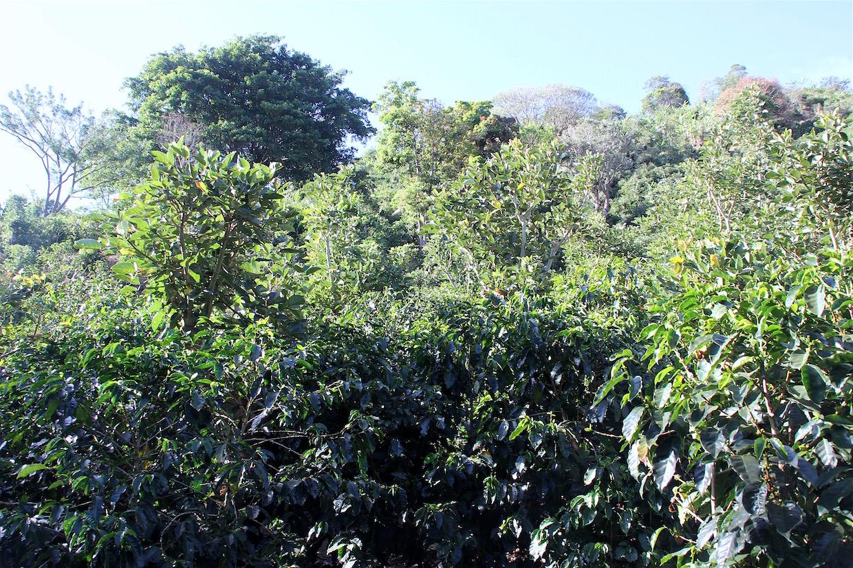 coffee_farm-1
