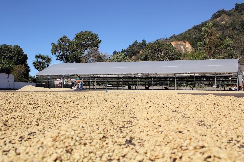 coffee_harvest
