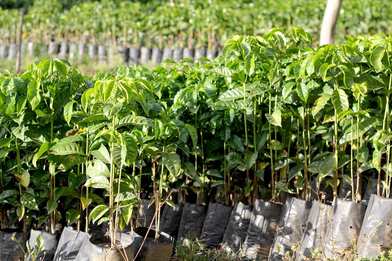 coffee varieties and plant types