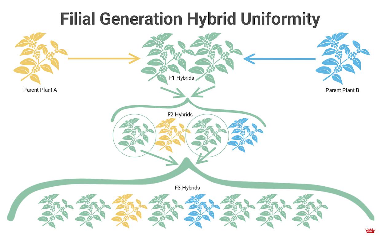 filial-generation-hybrid-uniformity