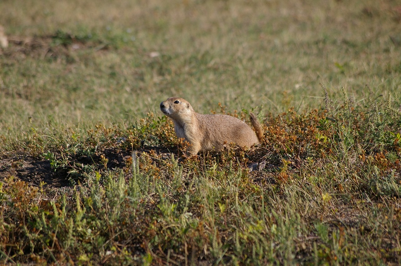 prairie-dog-2050035_1280