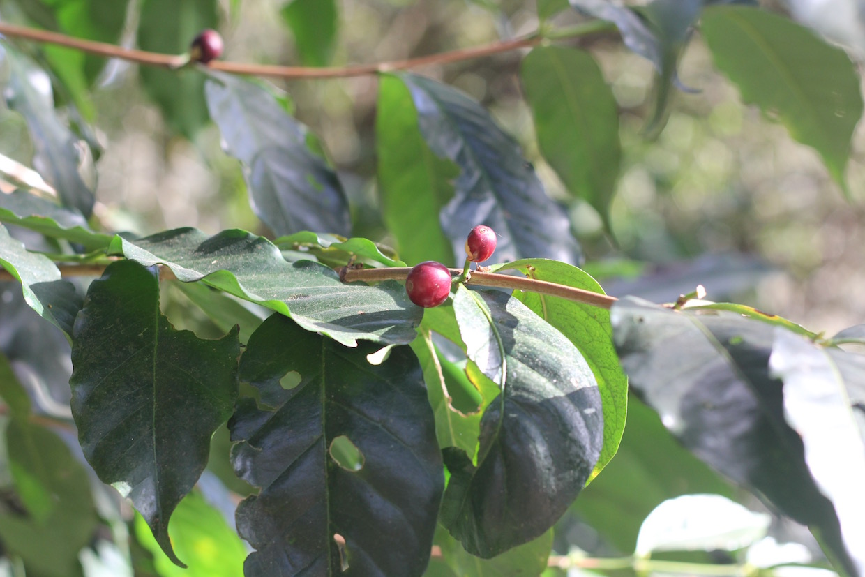 coffee plant cherry