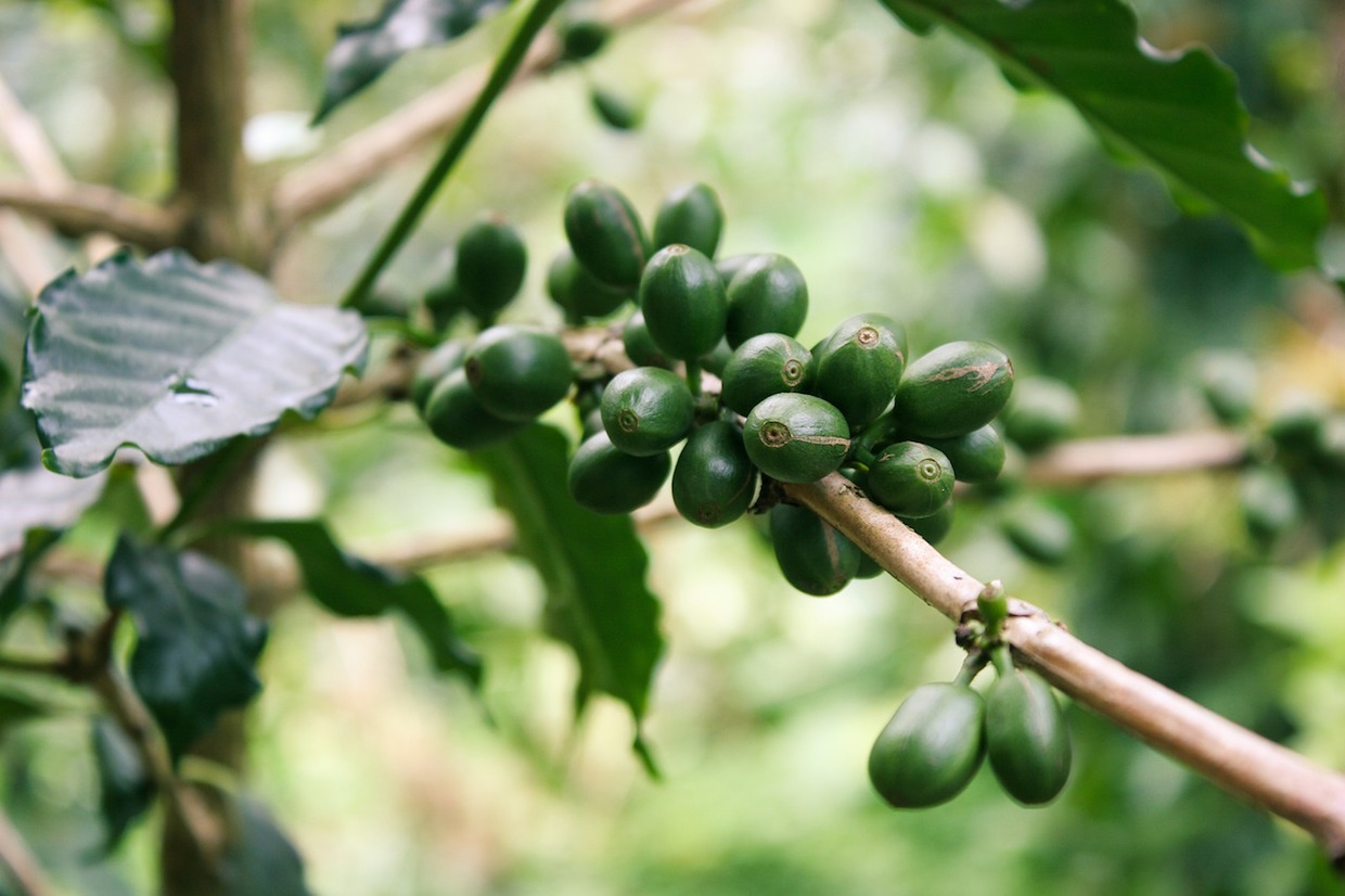 green coffee auction