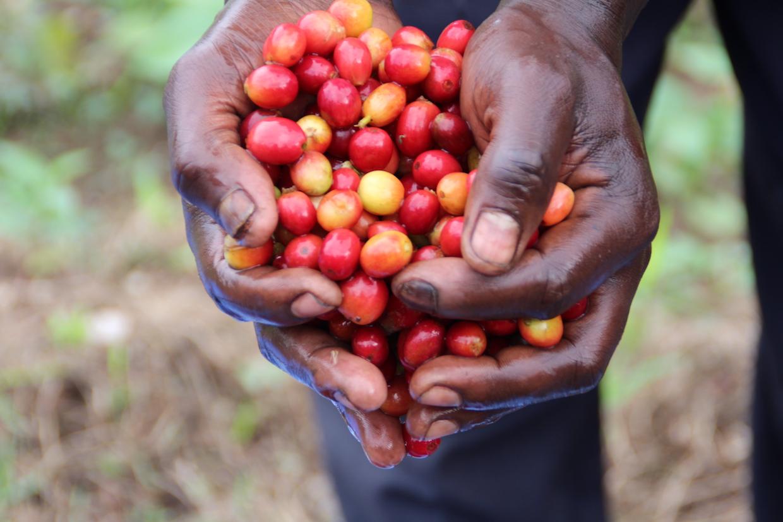 CPNCK coffee Kivu