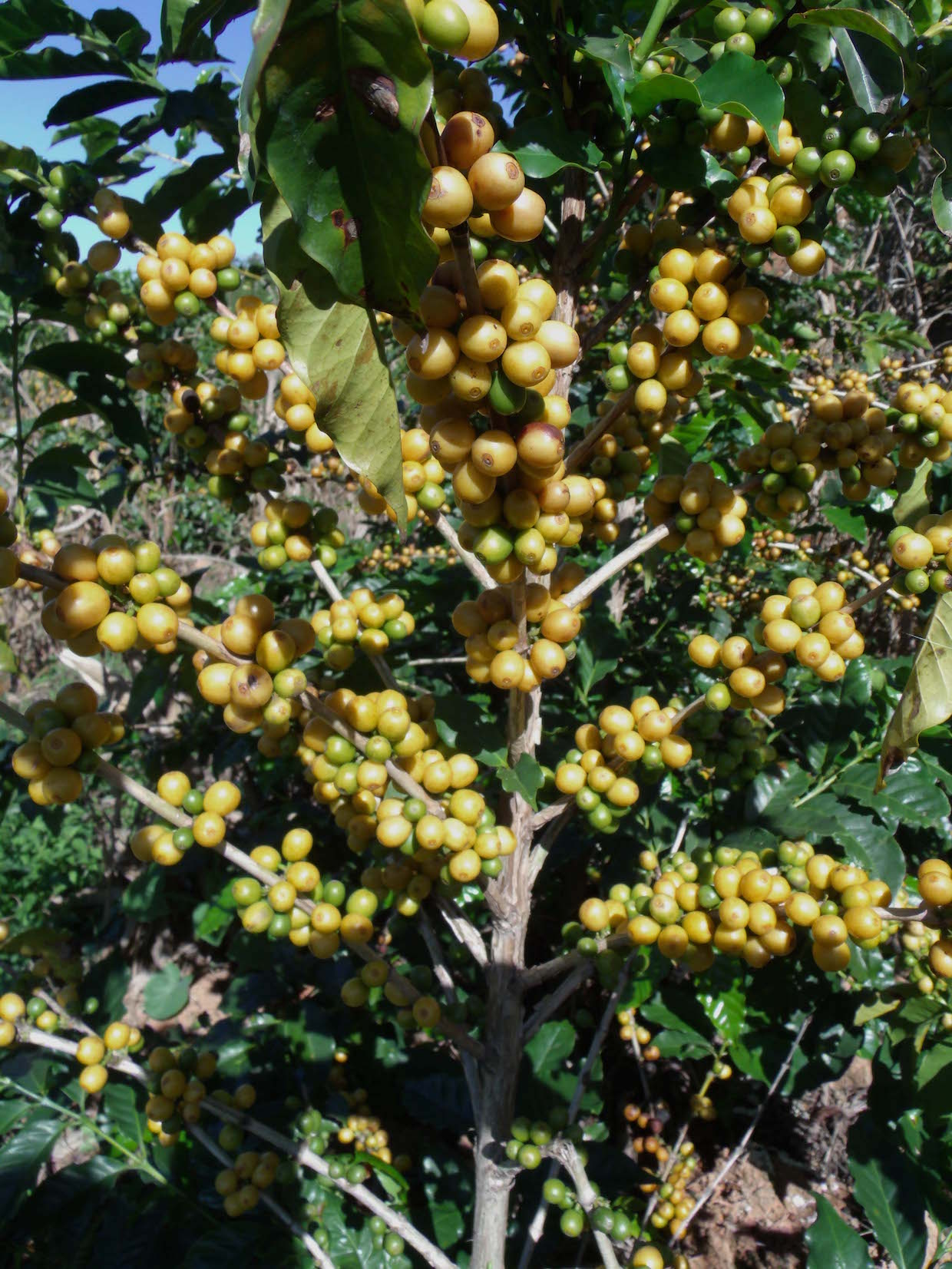Yellow Bourbon coffee Brazil