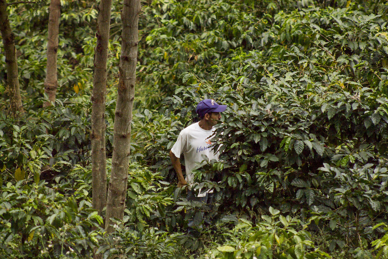 coffee forest farmer