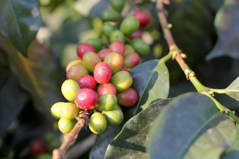 coffee plant on tree