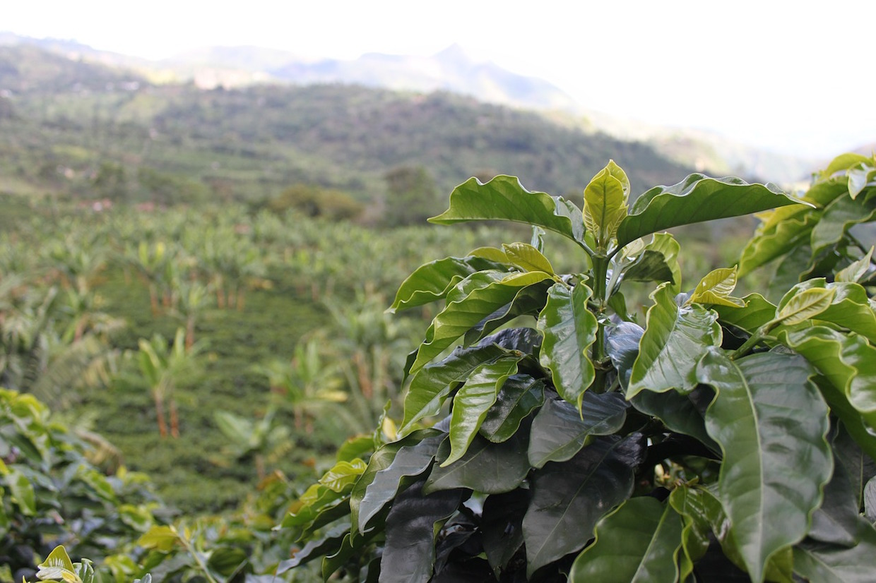 coffee farm plant