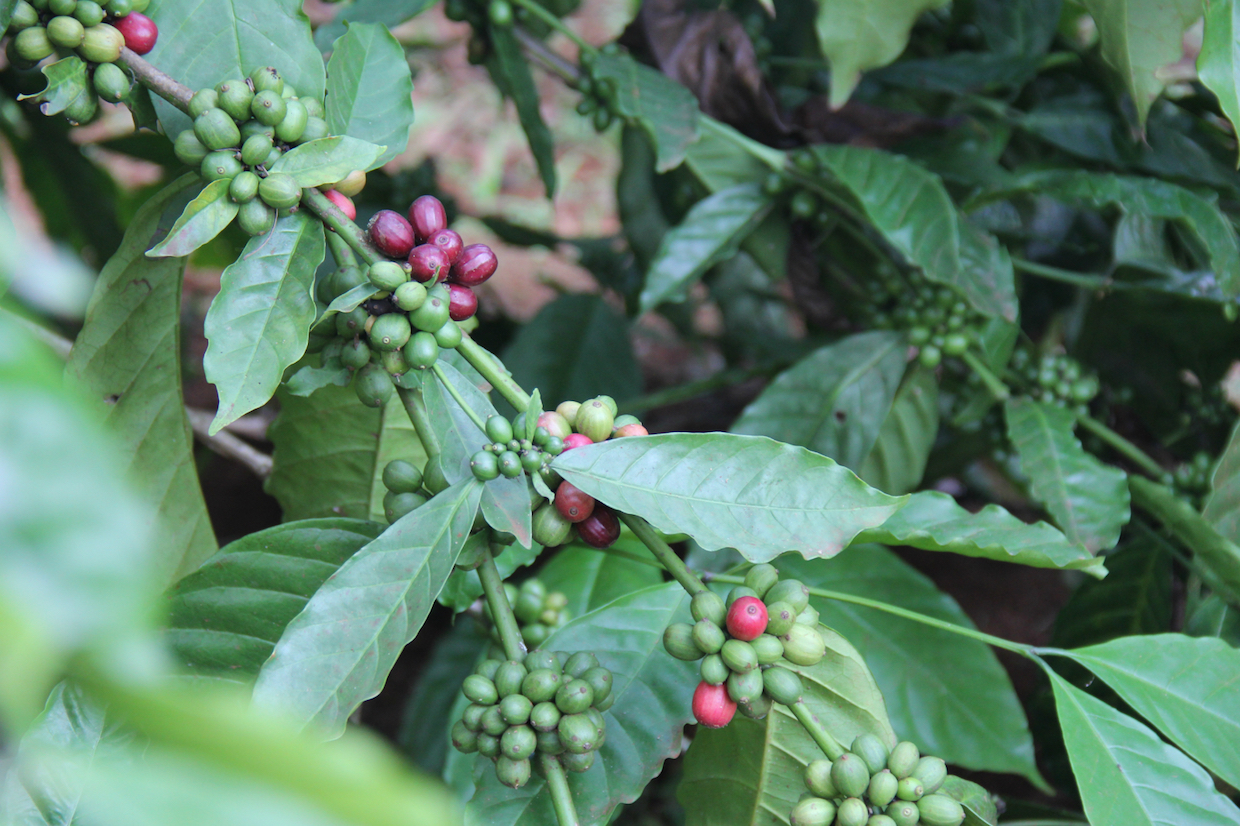 Vietnam coffee cherry plants
