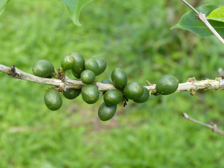 coffee price stabilization fund