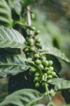 coffee-cherries-green
