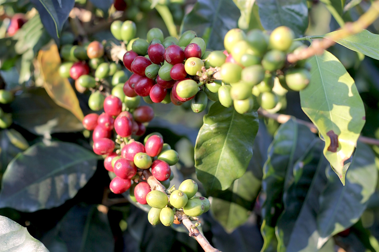 blockchain coffee plant