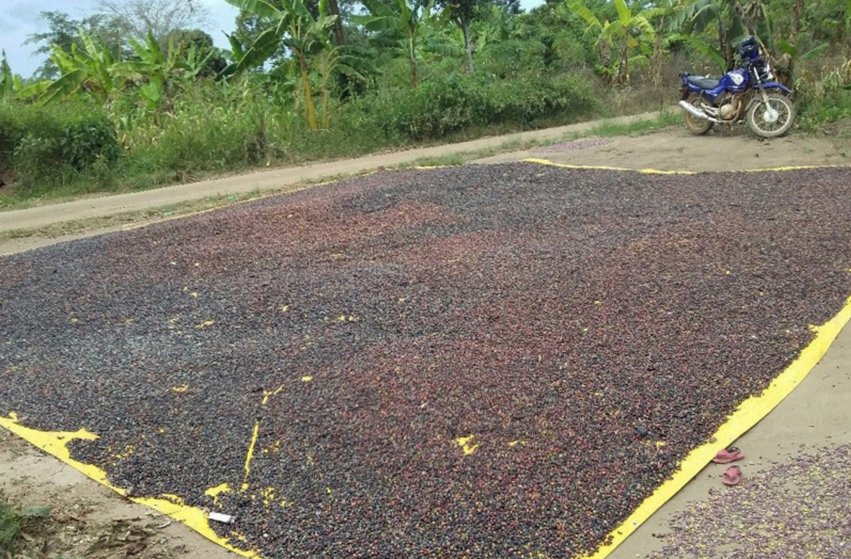 uganda_coffee_farm