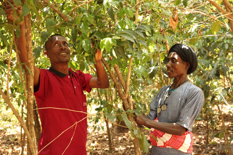 Ethiopia Coffee ICP