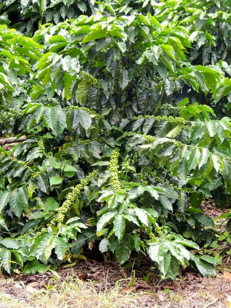plant-de-cafe-starmaya-3-ans-apres-plantation_lightbox