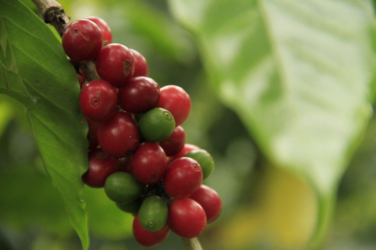 ripe coffee cherries on the vine