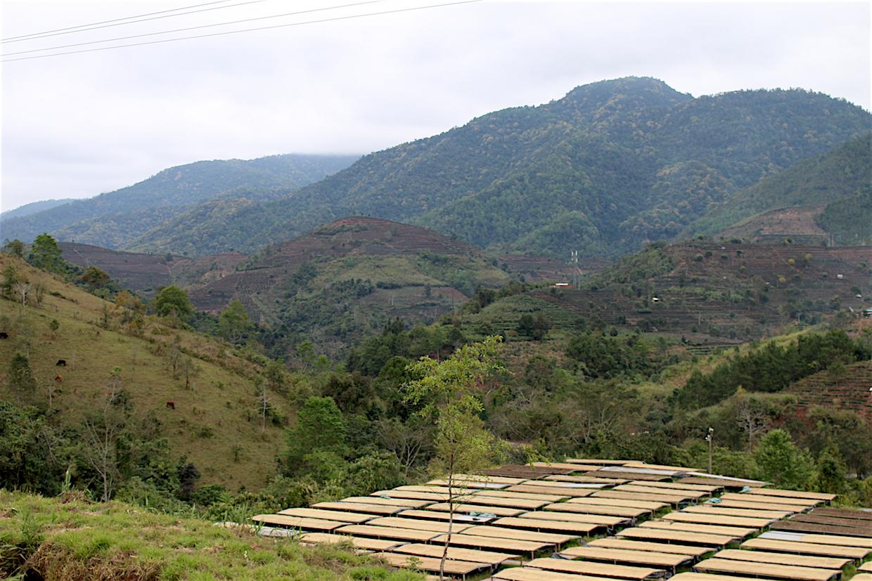 yunnan-coffee-farm