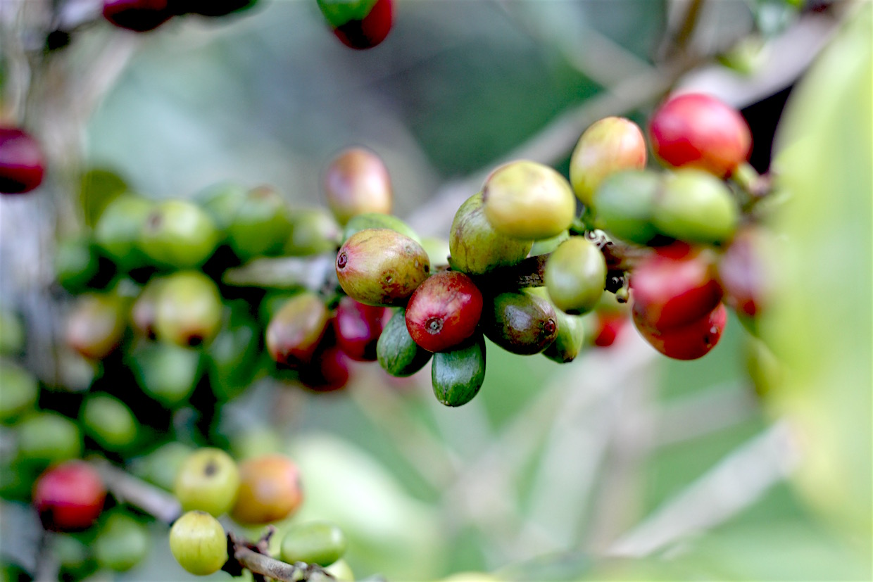 coffee plants cherries on branch