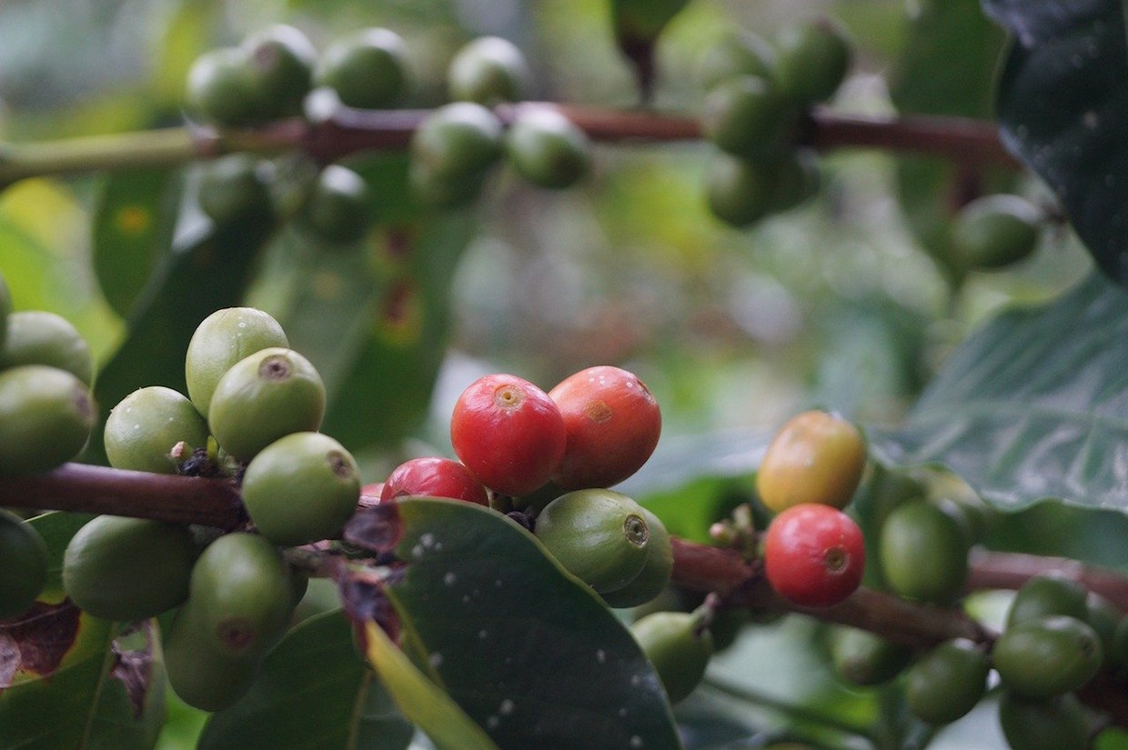 arabica coffee plant