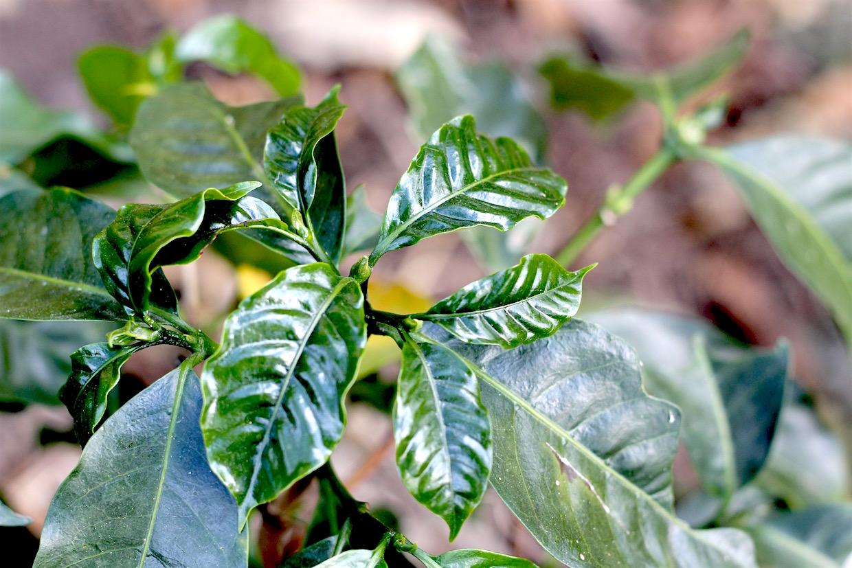coffea arabica diversity