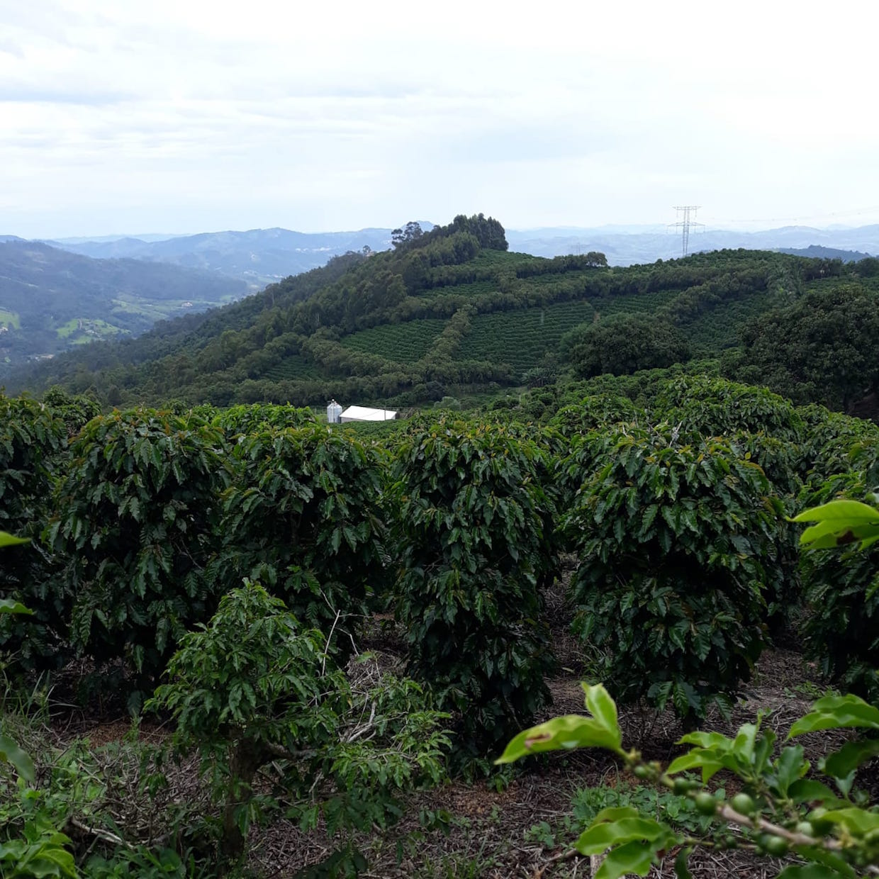 Brazil coffee harvest