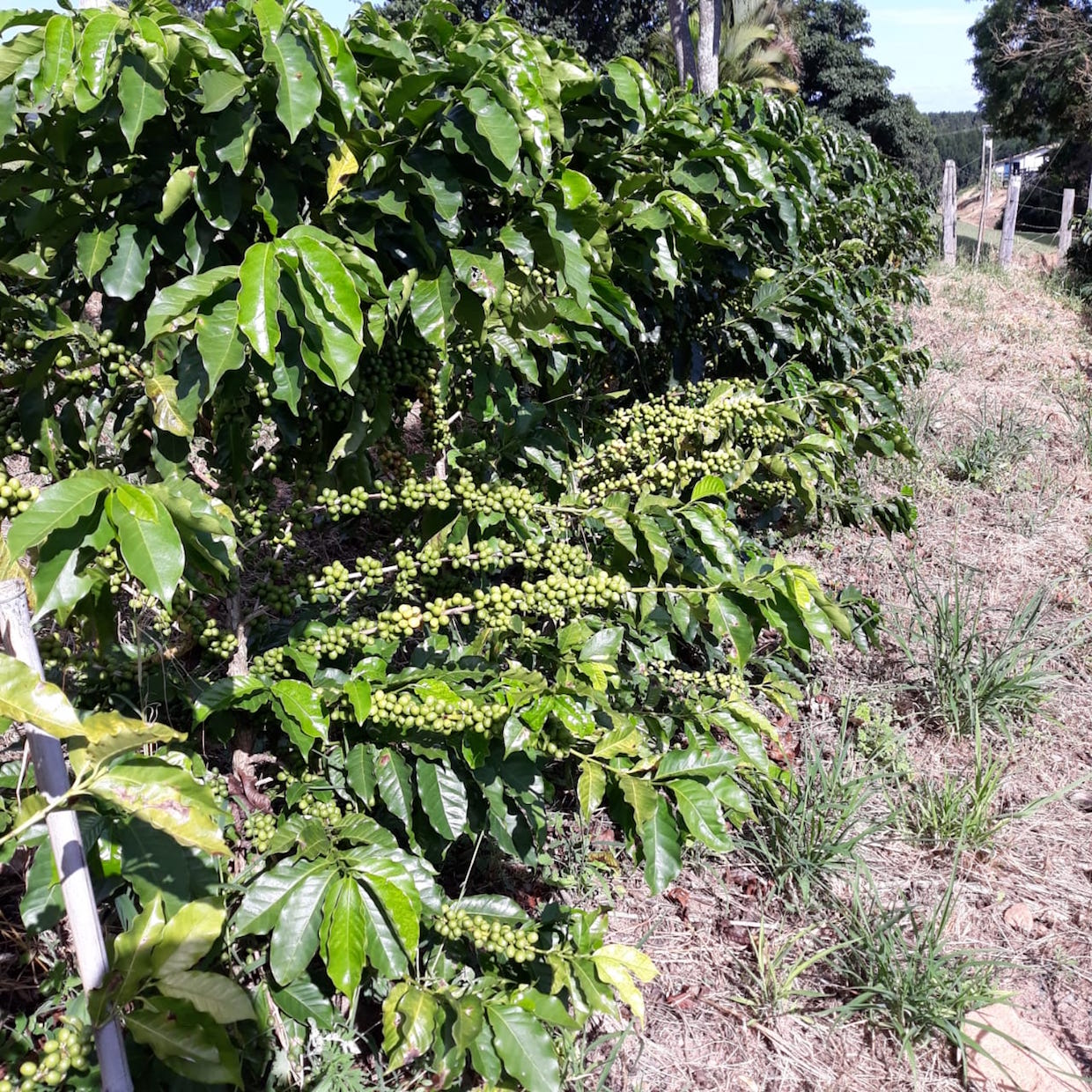Brazil coffee plants