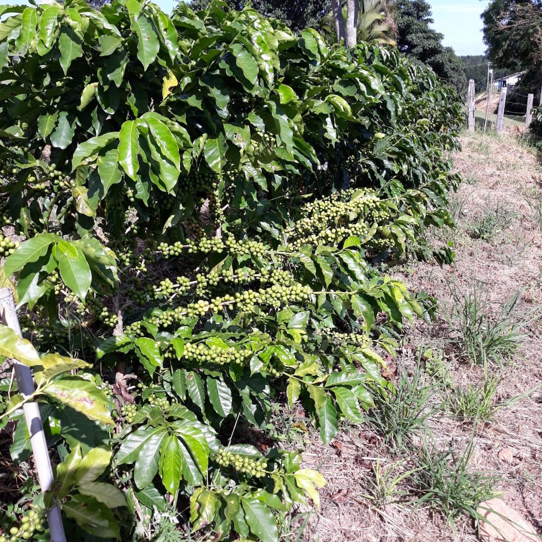 Brazil coffee plants