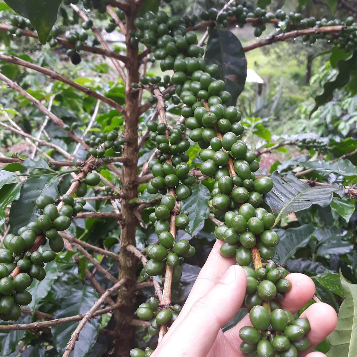 Brazilian coffee green