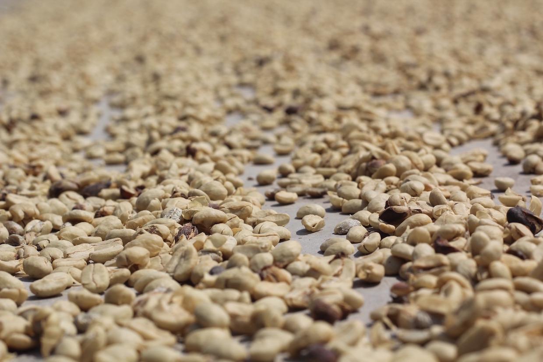coffee farmgate price