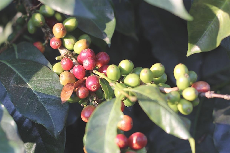 Nestle Nespresso supply chain