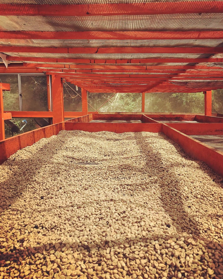 Colombian coffee drying parchment