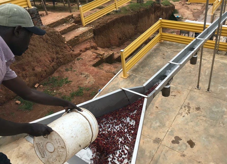 Rwanda Coffee Harvest