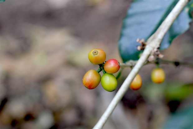 coffee plant fruit