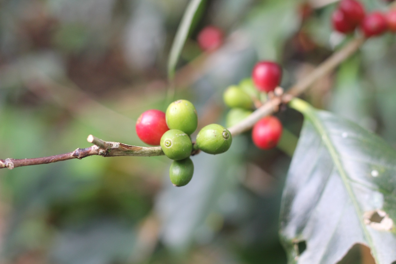 coffee cherries ripe and unripe