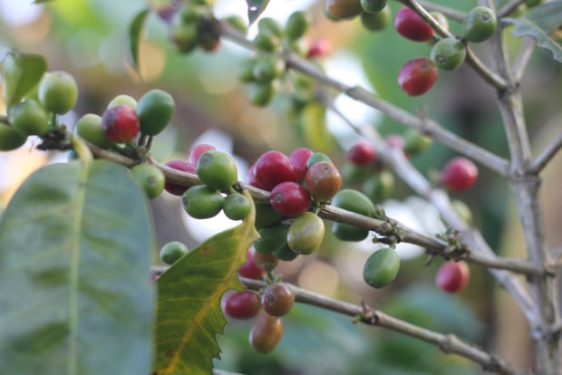 green coffee economics