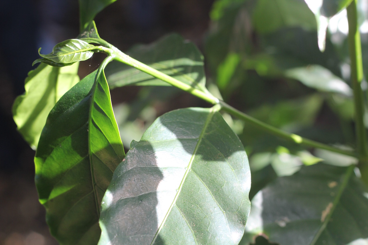 coffee leaves