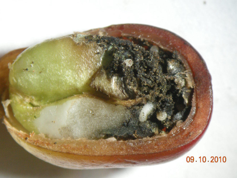 CBB larvae