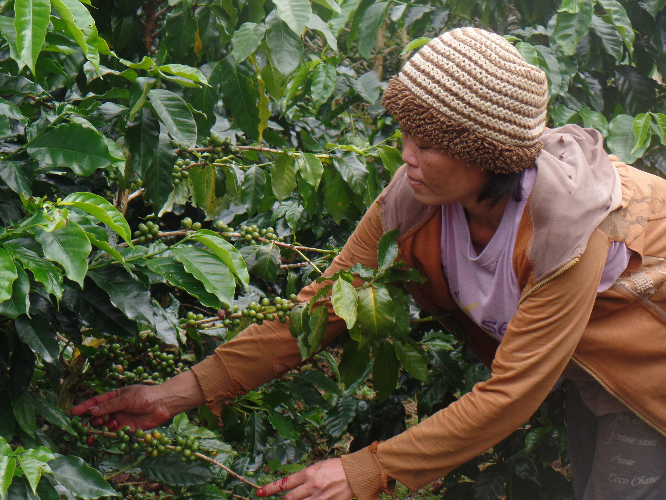 Laos coffee farm