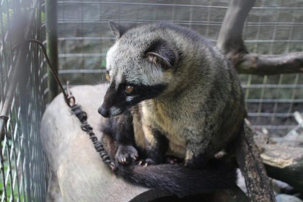caged civet indonesia