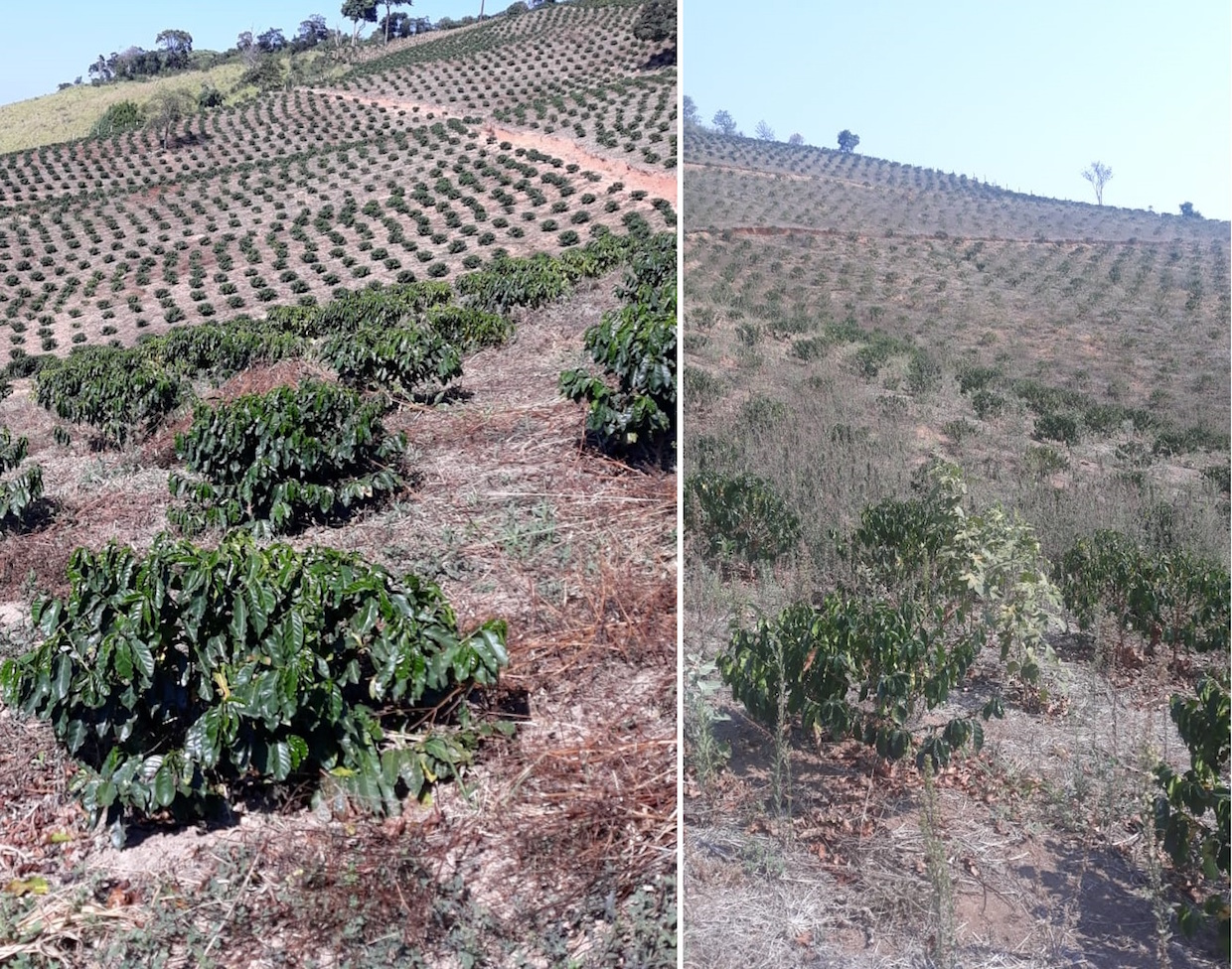The drought affecting coffee trees 2019-2020 , credit-Jonas Ferraresso